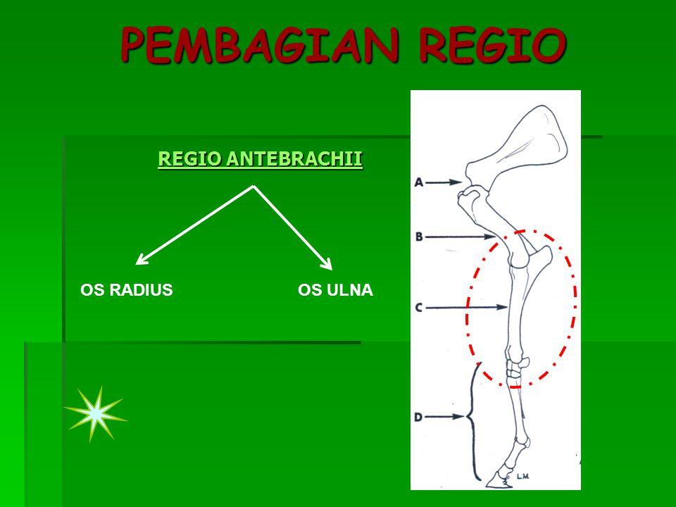 PEMBAGIAN REGIO REGIO ANTEBRACHII OS RADIUS OS ULNA