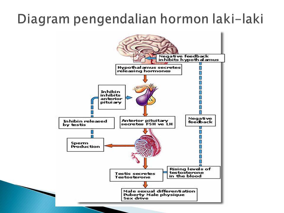 Diagram pengendalian hormon laki-laki