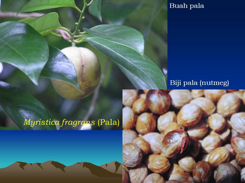 Myristica fragrans (Pala)