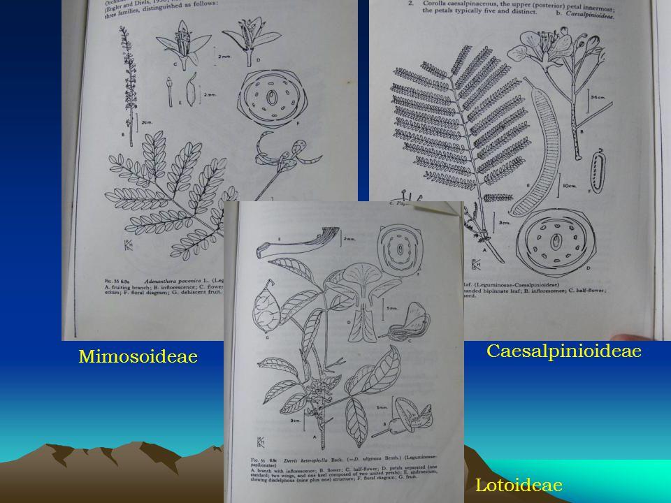 Caesalpinioideae Mimosoideae Lotoideae