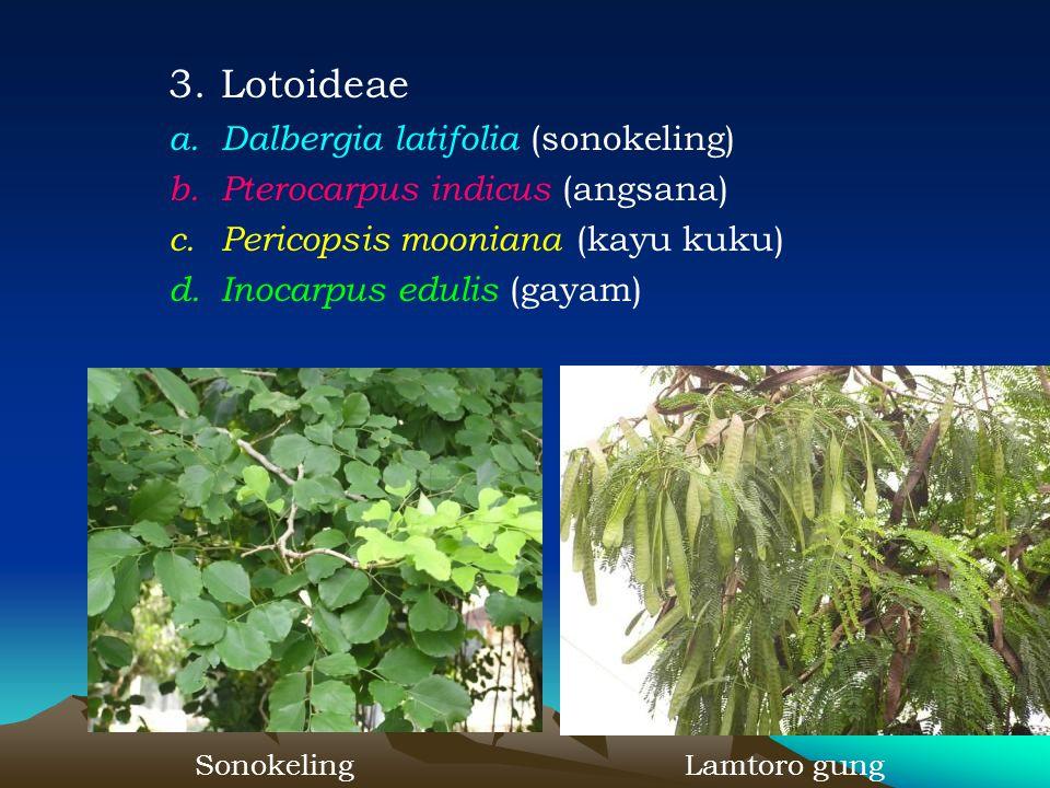 Lotoideae Dalbergia latifolia (sonokeling)