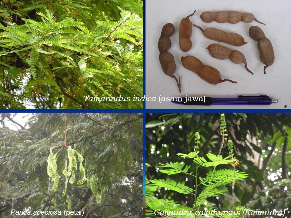Tamarindus indica (asam jawa)