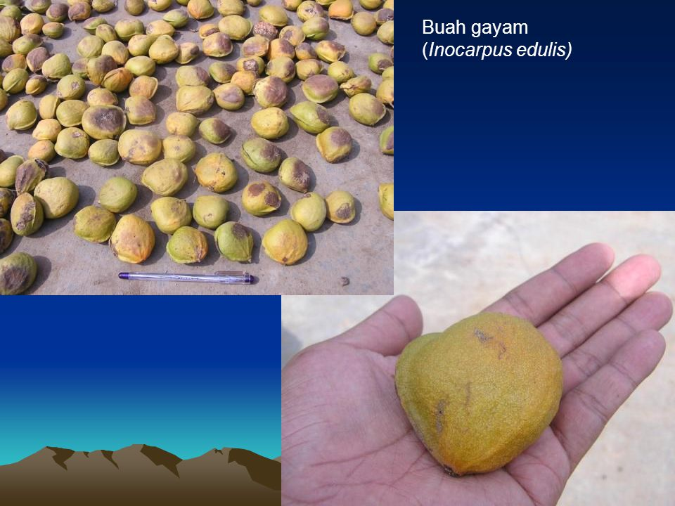 Buah gayam (Inocarpus edulis)