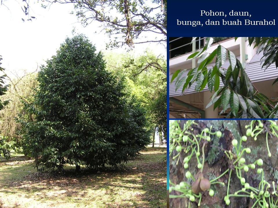 Pohon, daun, bunga, dan buah Burahol