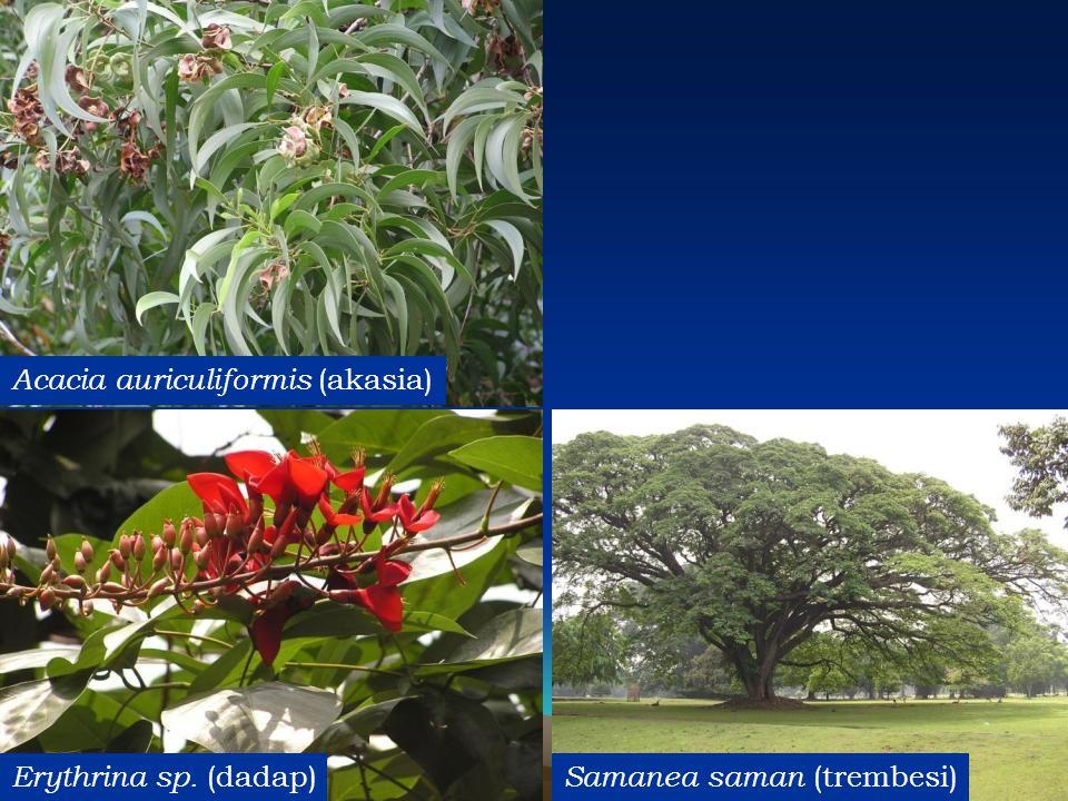 Acacia auriculiformis (akasia)