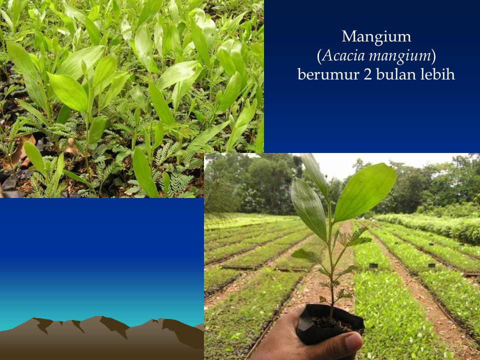 Mangium (Acacia mangium) berumur 2 bulan lebih