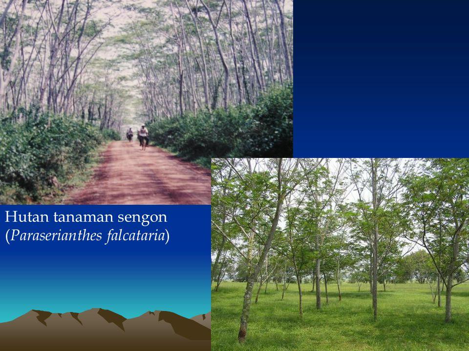 Hutan tanaman sengon (Paraserianthes falcataria)