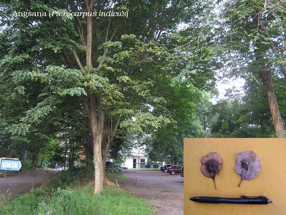 Angsana (Pterocarpus indicus)