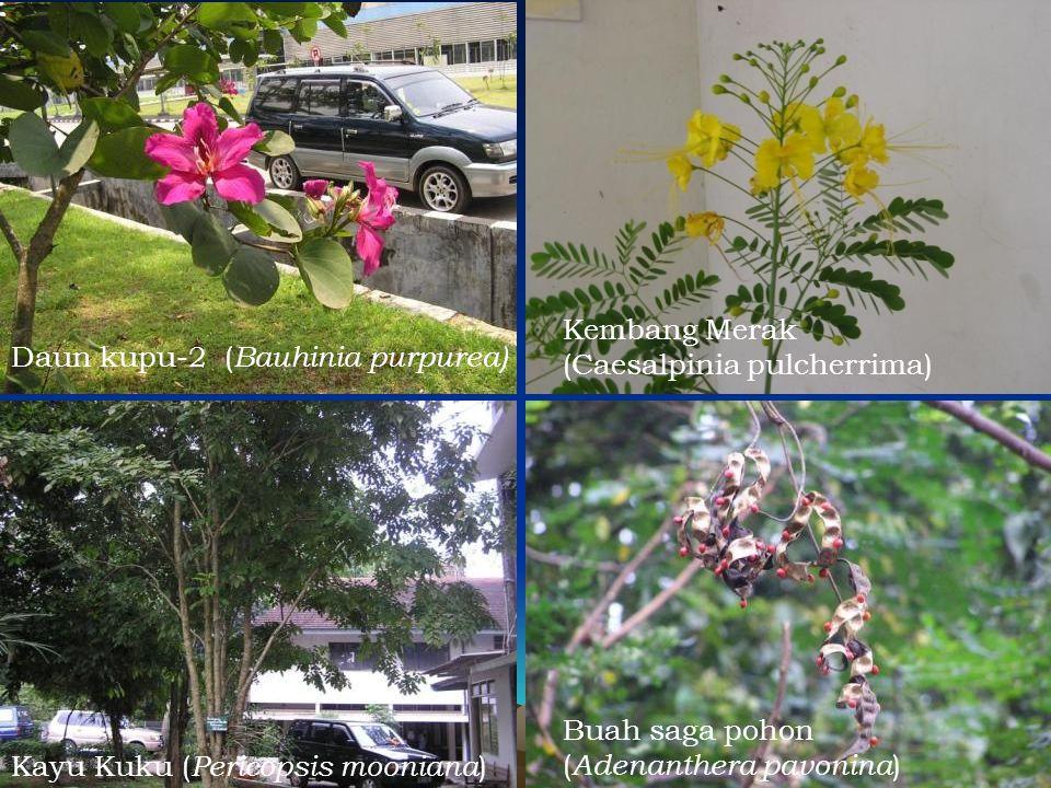 Kembang Merak (Caesalpinia pulcherrima) Daun kupu-2 (Bauhinia purpurea) Buah saga pohon. (Adenanthera pavonina)