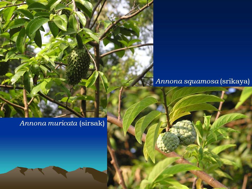 Annona muricata (sirsak)