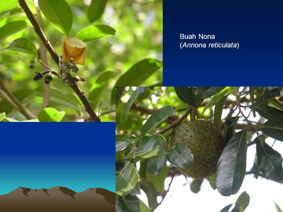 Buah Nona (Annona reticulata)