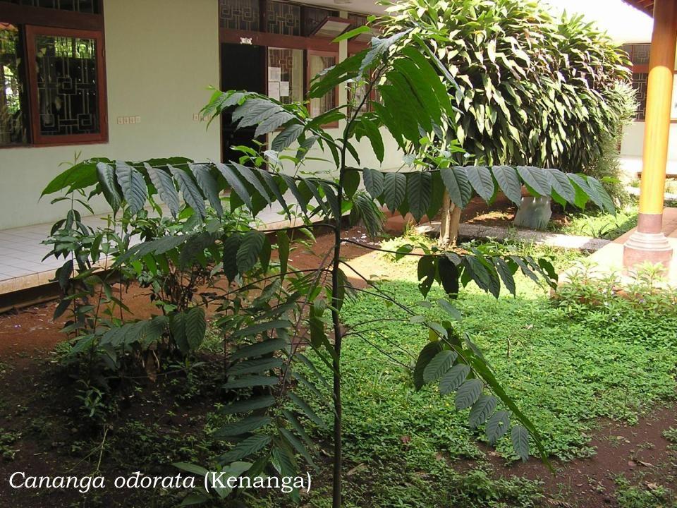 Cananga odorata (Kenanga)