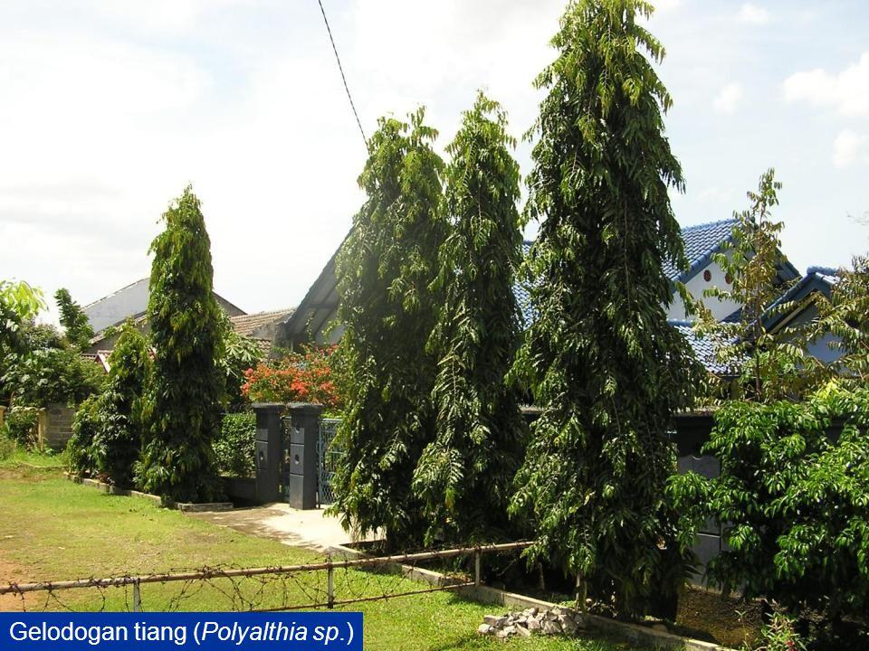Gelodogan tiang (Polyalthia sp.)