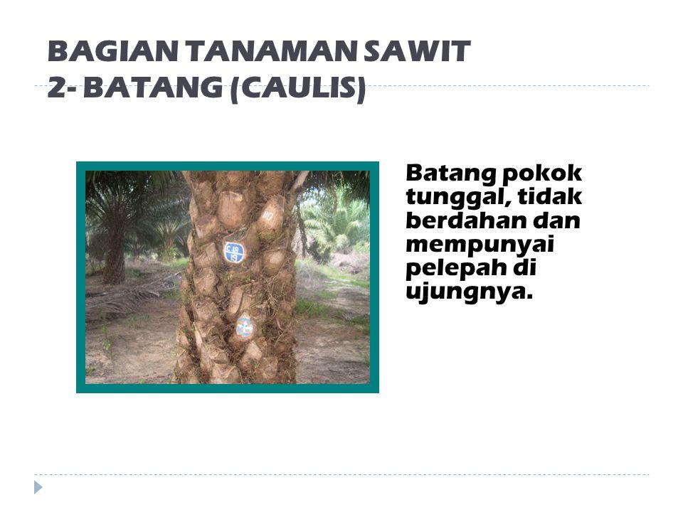 BAGIAN TANAMAN SAWIT 2- BATANG (CAULIS)