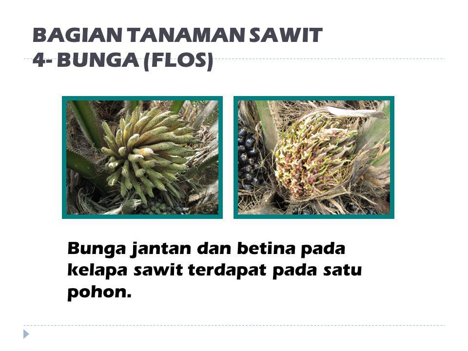 BAGIAN TANAMAN SAWIT 4- BUNGA (FLOS)