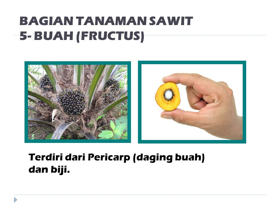 BAGIAN TANAMAN SAWIT 5- BUAH (FRUCTUS)