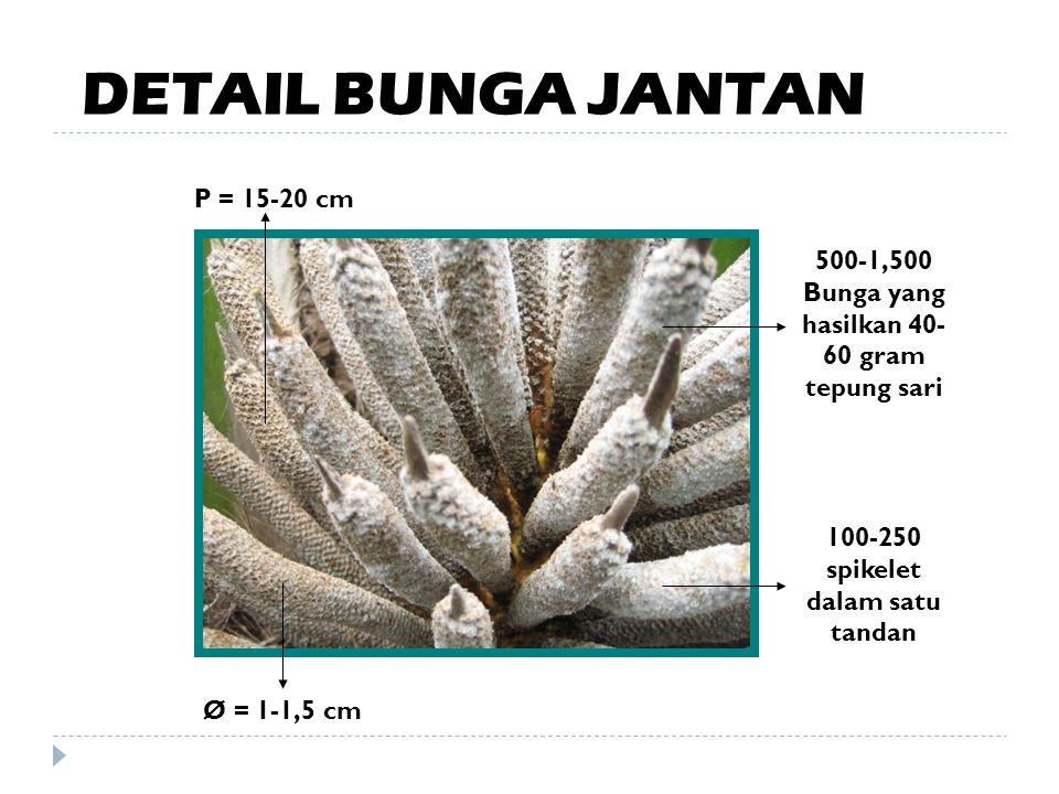 DETAIL BUNGA JANTAN P = 15-20 cm
