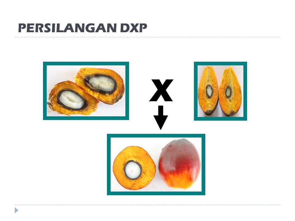 PERSILANGAN DXP X