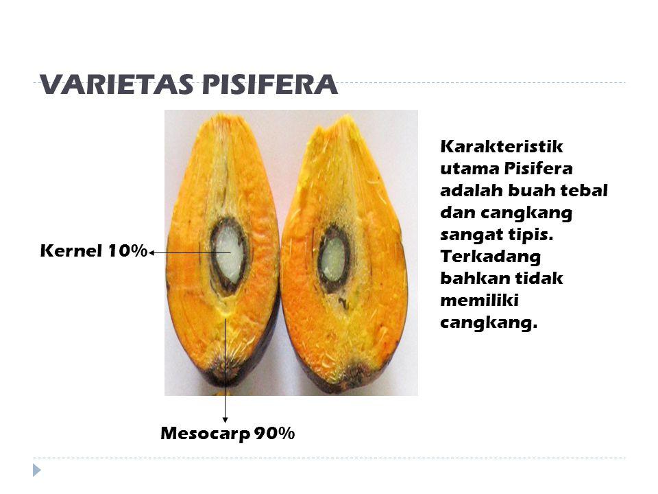 VARIETAS PISIFERA Karakteristik utama Pisifera adalah buah tebal dan cangkang sangat tipis. Terkadang bahkan tidak memiliki cangkang.