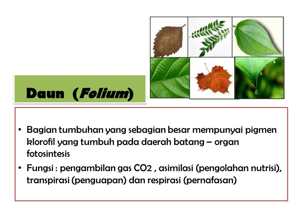 Daun (Folium) Bagian tumbuhan yang sebagian besar mempunyai pigmen klorofil yang tumbuh pada daerah batang – organ fotosintesis.