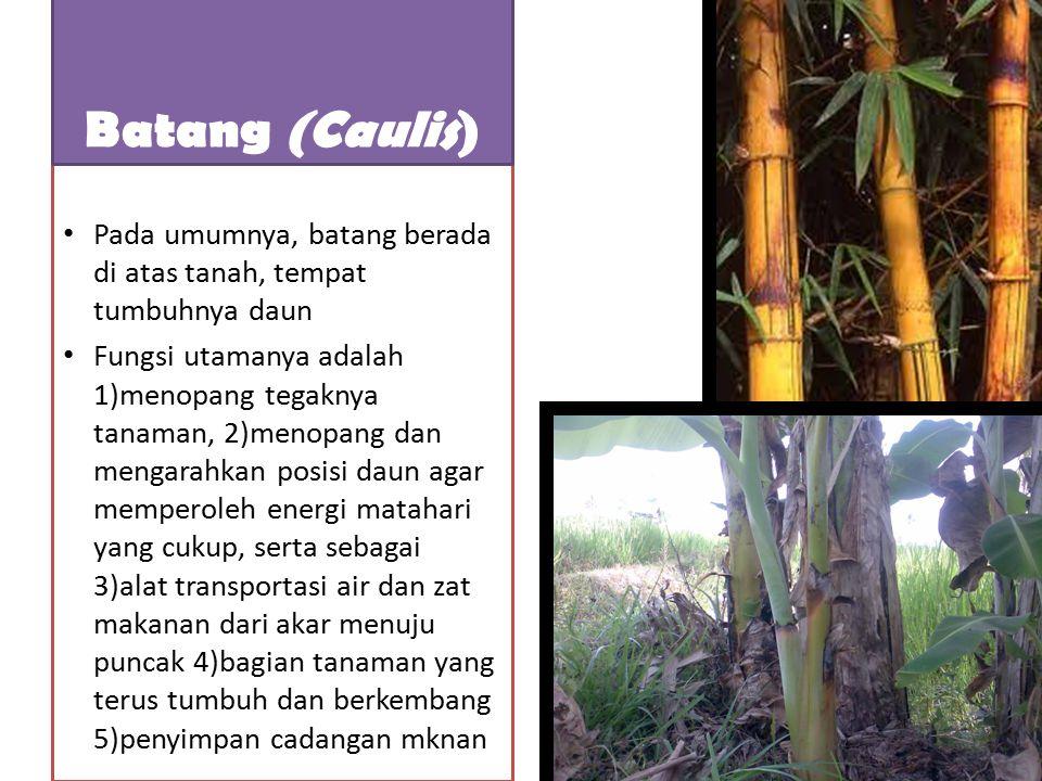 Batang (Caulis) Pada umumnya, batang berada di atas tanah, tempat tumbuhnya daun.