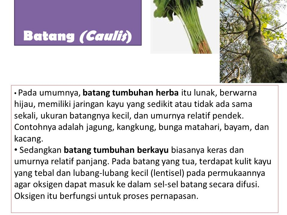 Batang (Caulis)