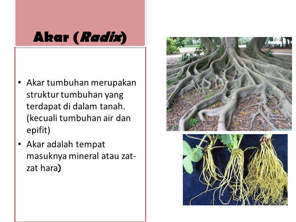 Akar (Radix) Akar tumbuhan merupakan struktur tumbuhan yang terdapat di dalam tanah. (kecuali tumbuhan air dan epifit)
