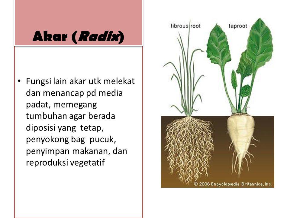 Akar (Radix)