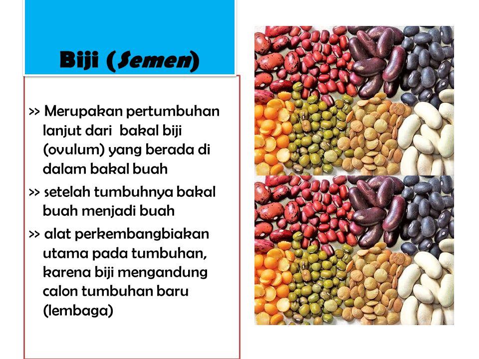 Biji (Semen) >> Merupakan pertumbuhan lanjut dari bakal biji (ovulum) yang berada di dalam bakal buah.
