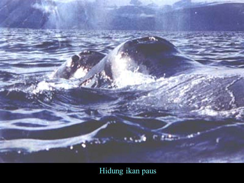 Hidung ikan paus