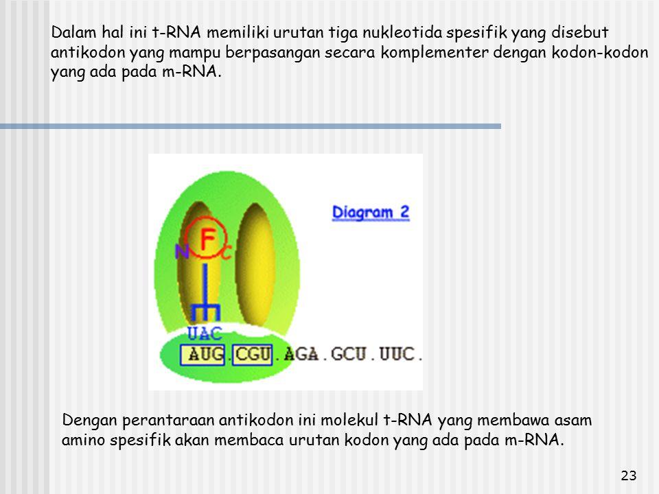 Dalam hal ini t-RNA memiliki urutan tiga nukleotida spesifik yang disebut antikodon yang mampu berpasangan secara komplementer dengan kodon-kodon yang ada pada m-RNA.