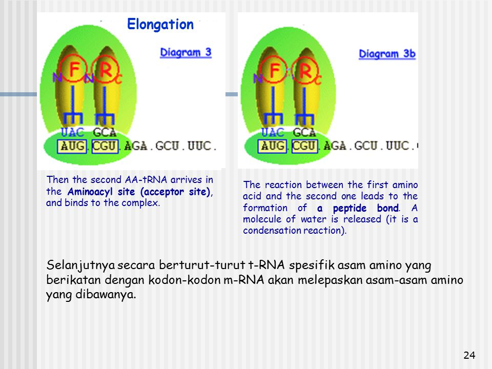 Then the second AA-tRNA arrives in the Aminoacyl site (acceptor site), and binds to the complex.