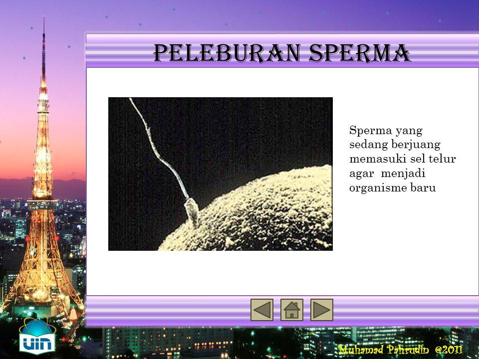 Peleburan sperma Reproduksi Seksual Penyebab Variasi Genetik