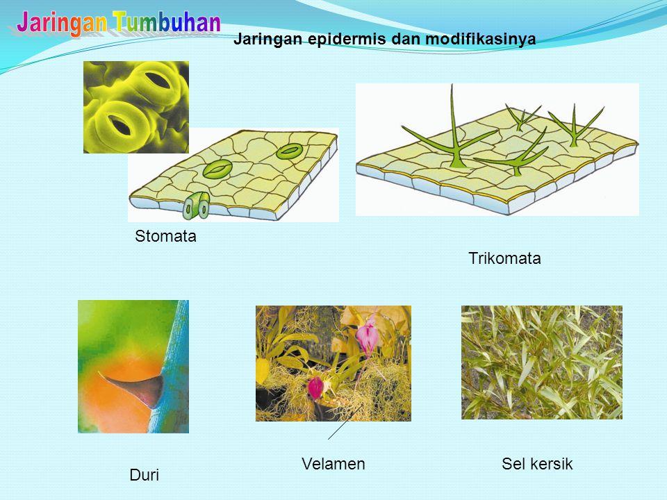 Jaringan Tumbuhan Jaringan epidermis dan modifikasinya Stomata