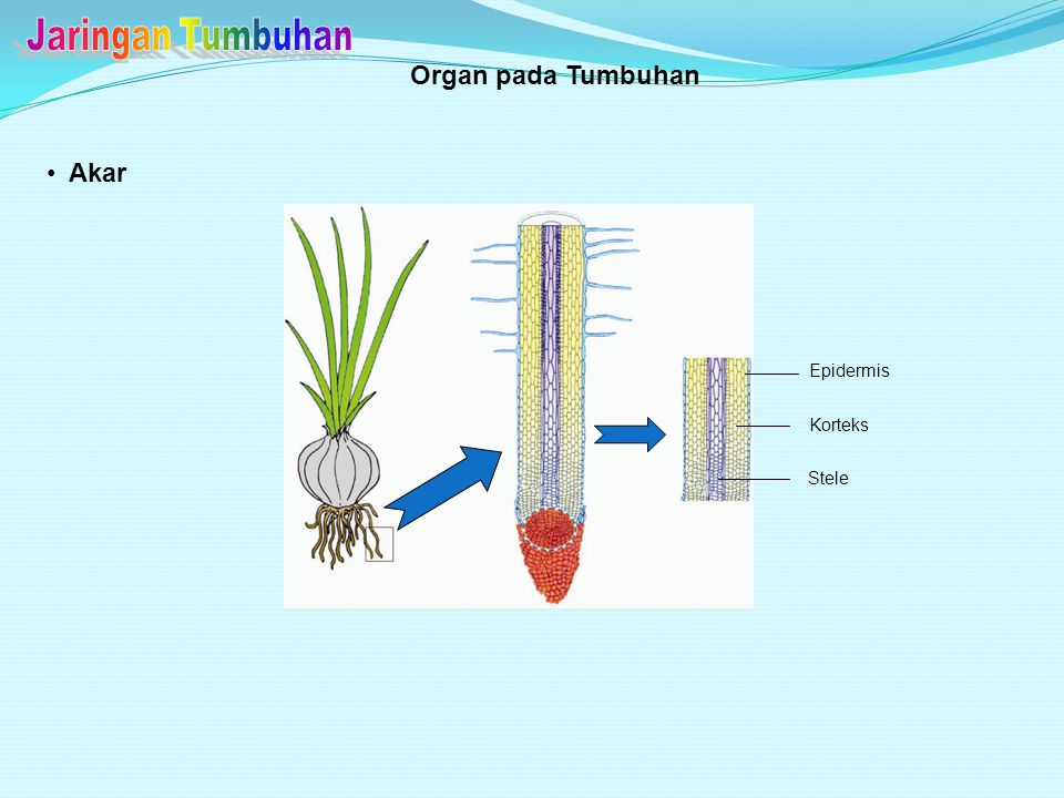 Jaringan Tumbuhan Organ pada Tumbuhan Akar Epidermis Korteks Stele