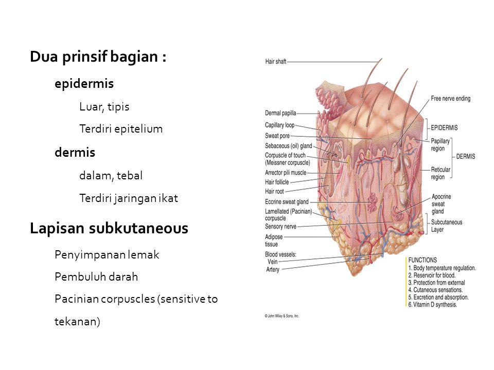 Dua prinsif bagian : Lapisan subkutaneous epidermis dermis Luar, tipis