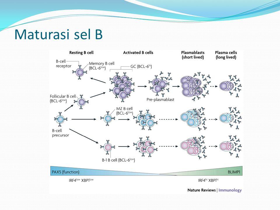 Maturasi sel B