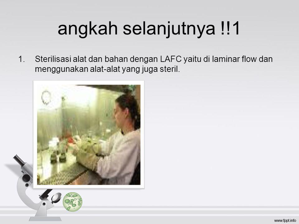 angkah selanjutnya !!1 Sterilisasi alat dan bahan dengan LAFC yaitu di laminar flow dan menggunakan alat-alat yang juga steril.