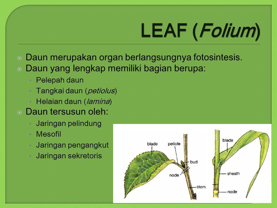 LEAF (Folium) Daun merupakan organ berlangsungnya fotosintesis.