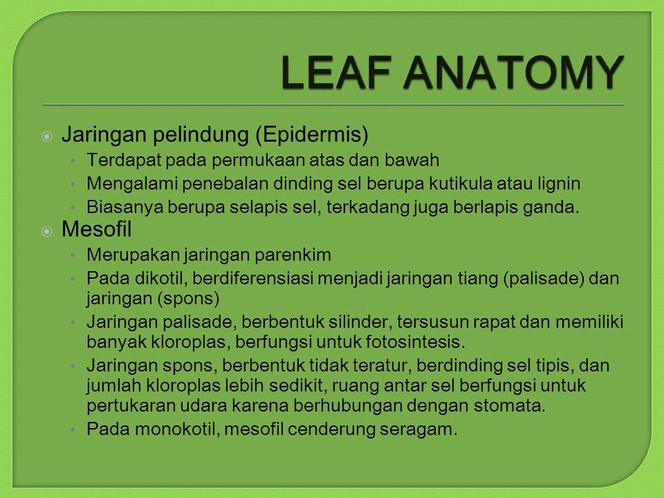 LEAF ANATOMY Jaringan pelindung (Epidermis) Mesofil