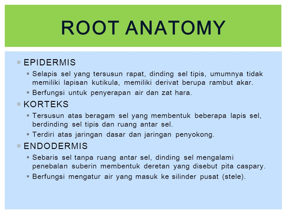 Root anatomy EPIDERMIS KORTEKS ENDODERMIS