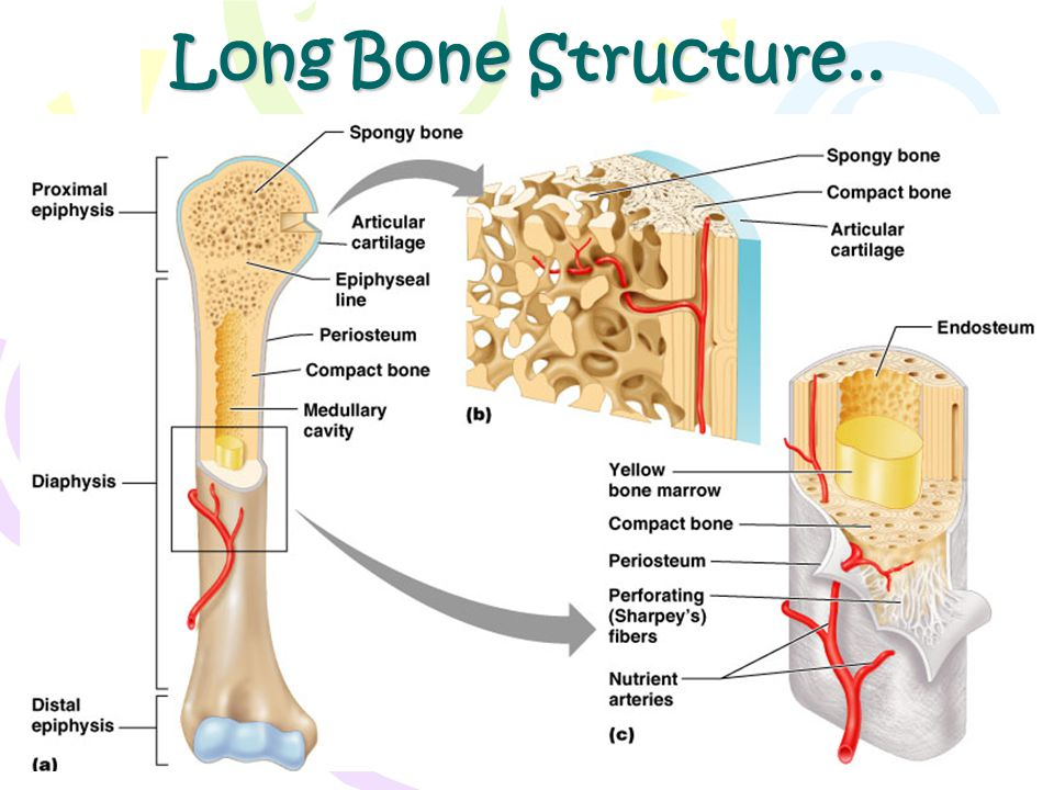 Long Bone Structure.. Figure 6.3