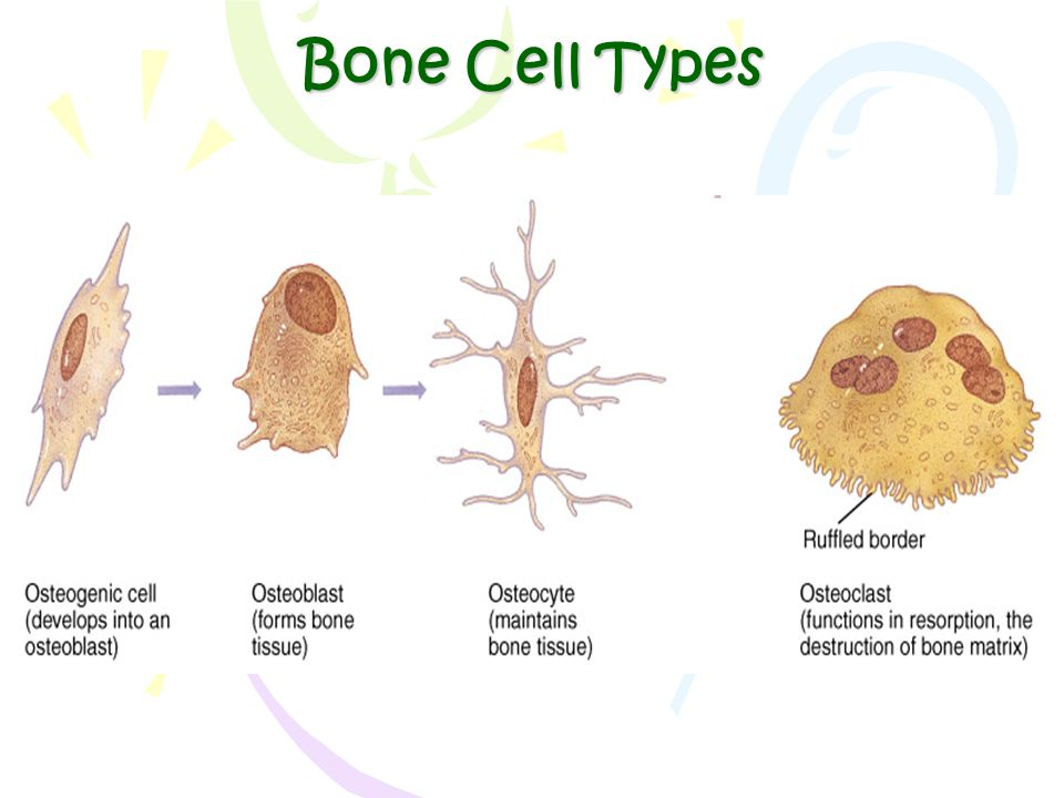 Bone Cell Types