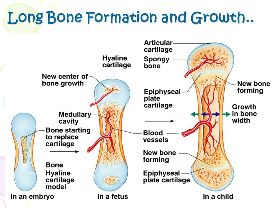 Long Bone Formation and Growth..