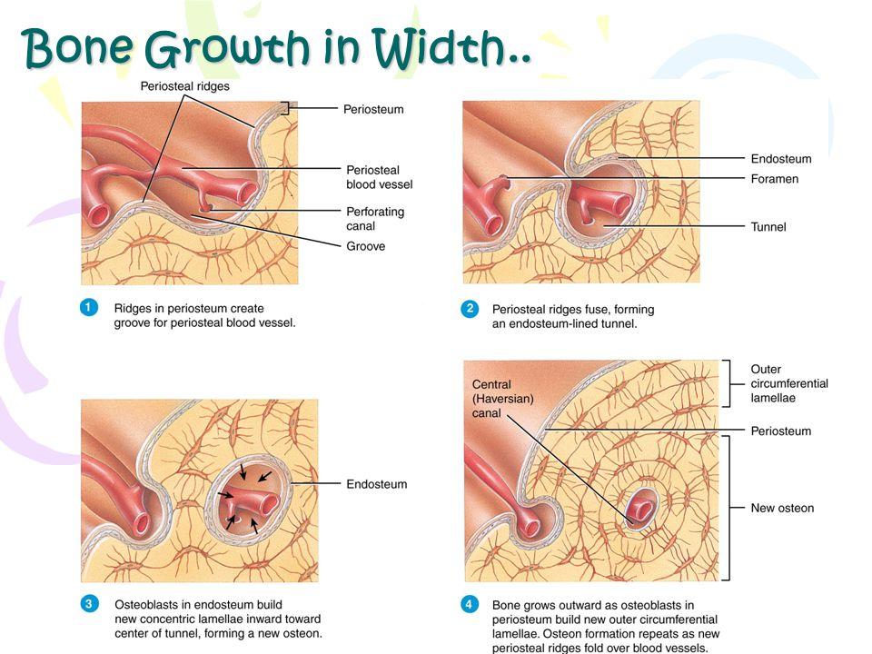 Bone Growth in Width..