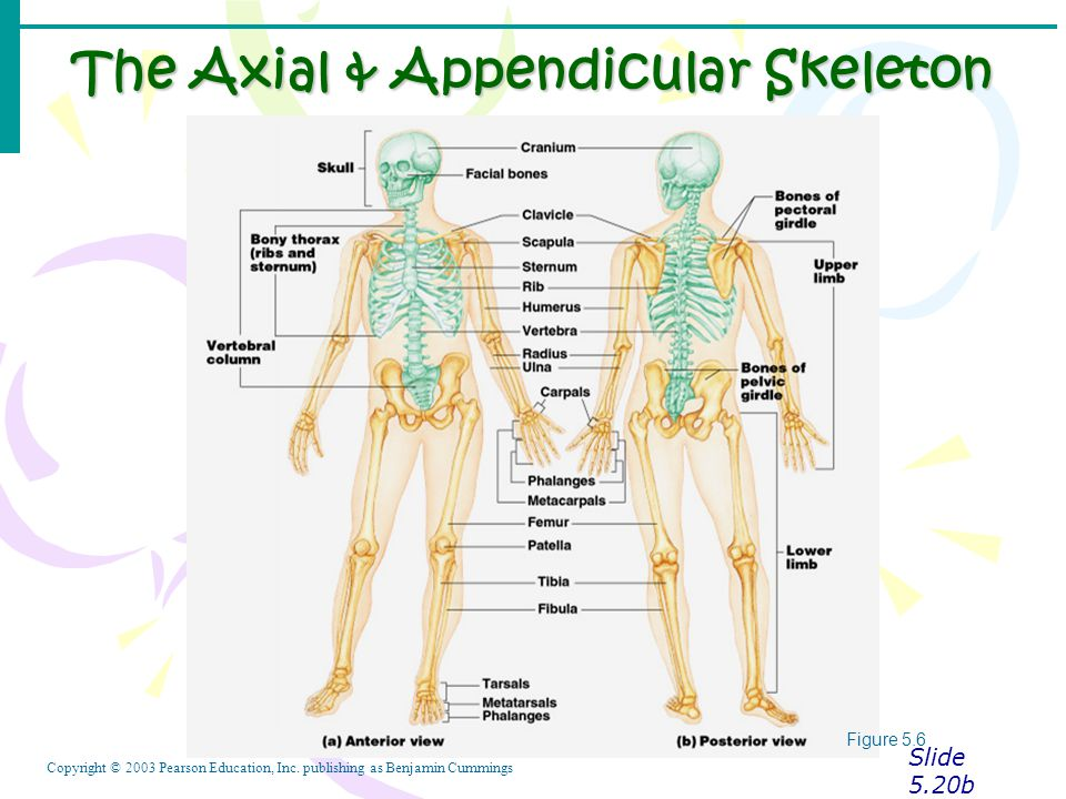 The Axial & Appendicular Skeleton