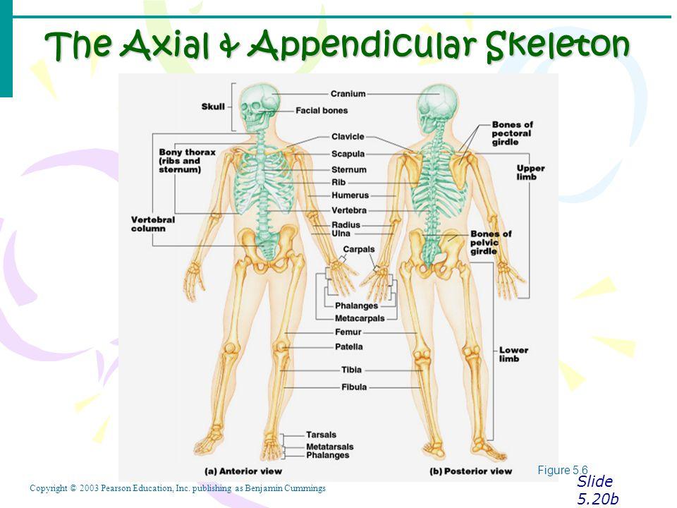 The appendicular skeleton | Custom paper Writing Service
