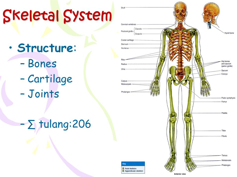 Skeletal System Structure: Bones Cartilage Joints ∑ tulang:206