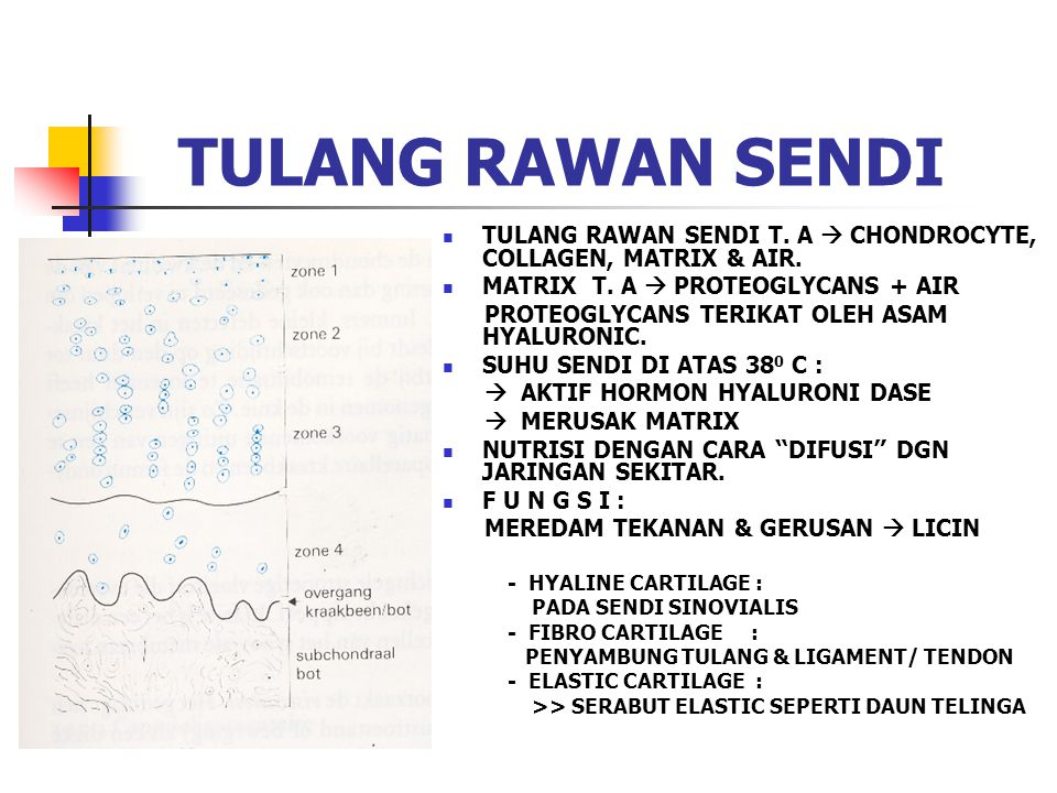 TULANG RAWAN SENDI TULANG RAWAN SENDI T. A  CHONDROCYTE, COLLAGEN, MATRIX & AIR. MATRIX T. A  PROTEOGLYCANS + AIR.