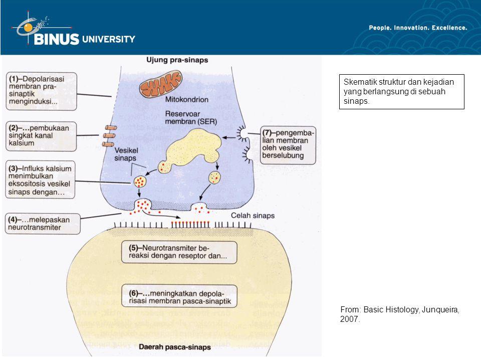 Skematik struktur dan kejadian yang berlangsung di sebuah sinaps.